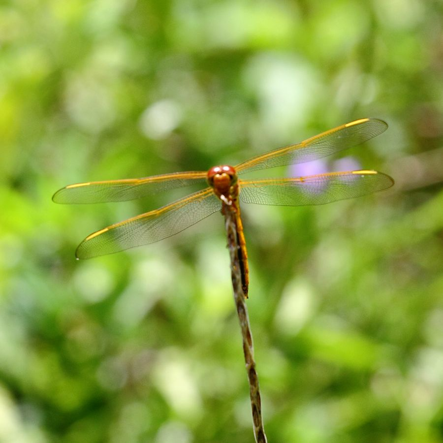 IMAGE: http://southflpictures.com/Dragonfly900_3065.jpg